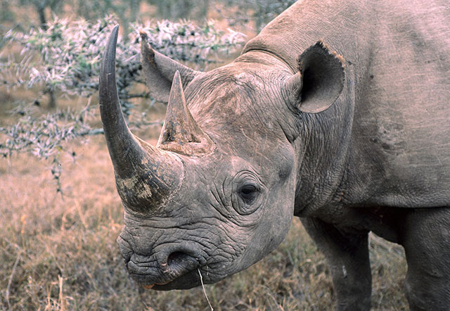 indian rhinoceros rhino