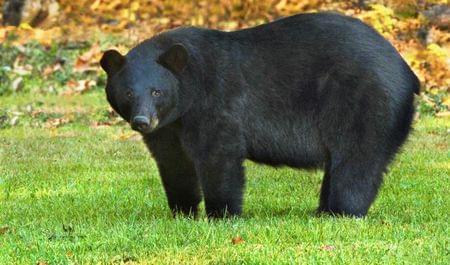 louisiana black bear endangered