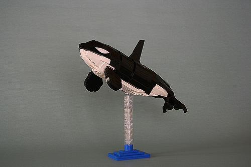 Orcinus orca 001