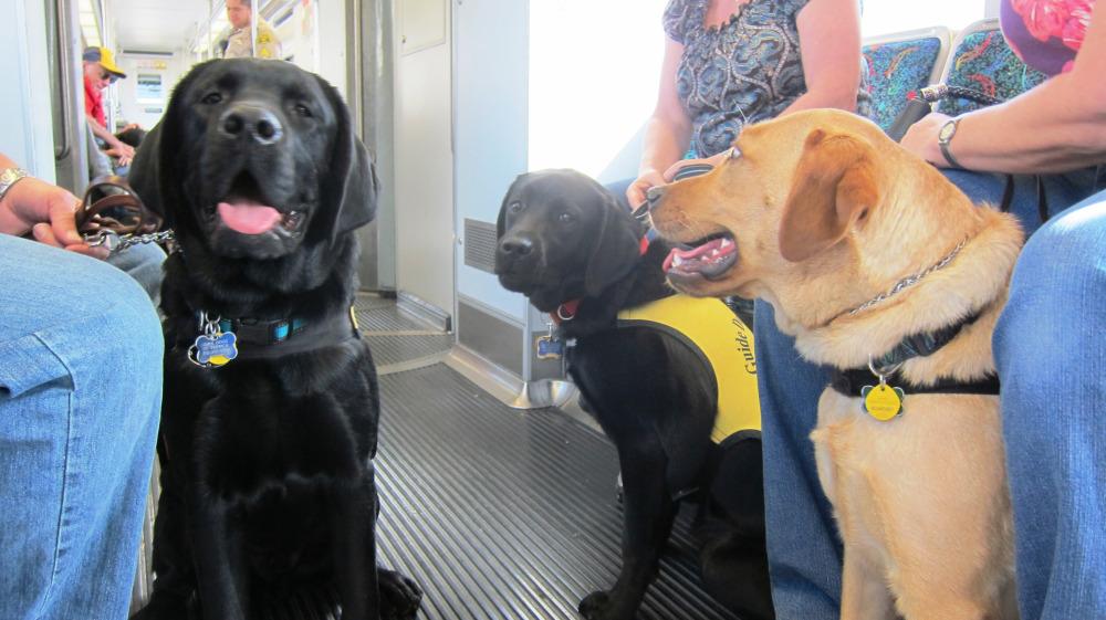 Los perritos guía a bordo de uno de los trenes de la Línea Dorada de Metro.