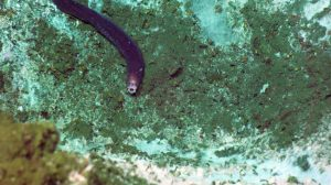 A hagfish with mouth wide open slithers around the Southern Hydrate Ridge methane seep site. Credit: UW/NSF-OOI/WHOI, V18.