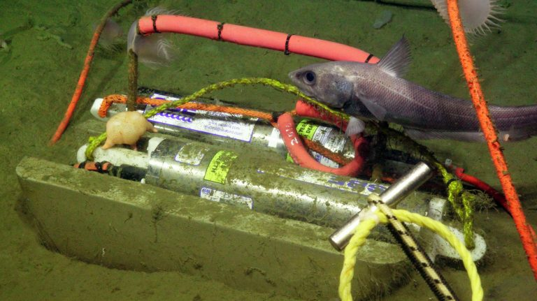 A rattail fish (Grenadier) investigates two pressure sensors at 9500 ft water depth at the sedimented Slope Base site. The one in the background has been equilibrating since 2017 on the seafloor. Venus fly-trap like anenomies have colonized the cables that allow data to flow to shore in real-time, and a feeding sea star is on the dusty, 2014 sensor. Credit: UW/NSF-OOI/WHOI, V18.