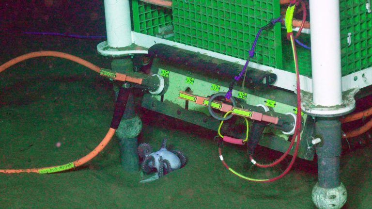 An octopus at 9500 ft beneath the oceans' surface finds a home by the leg of one of the Cabled Array junction boxes at the Slope Base site. Credit: UW/NSF-OOI/WHOI, V18.
