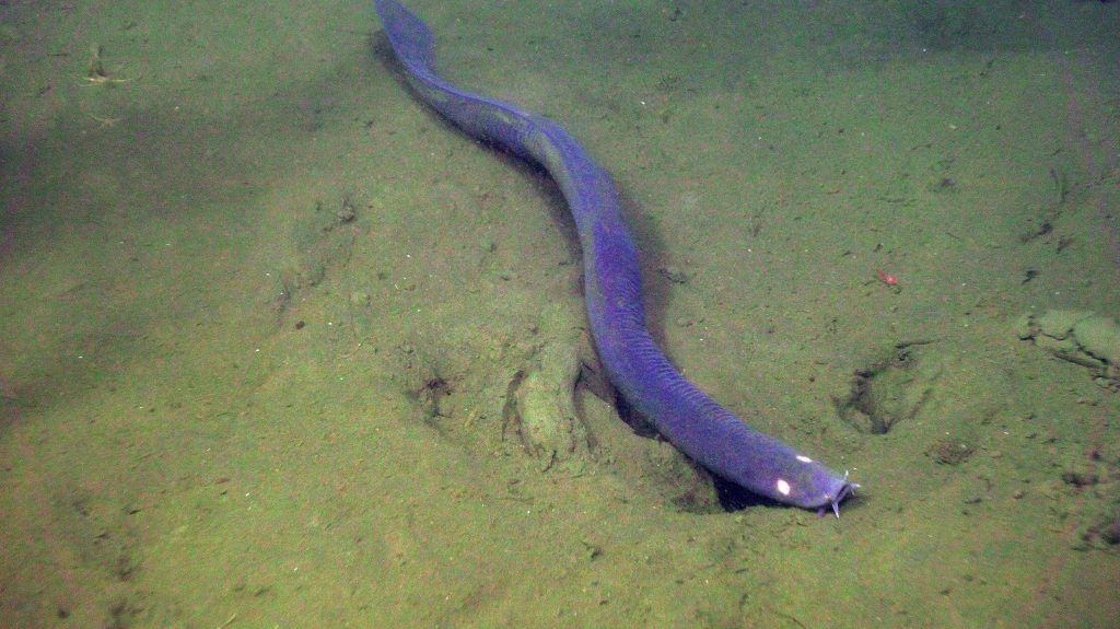 A hagfish hangs out at the Oregon Offshore site. Credit: UW/NSF-OOI/WHOI; V18