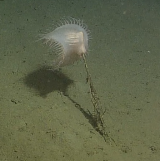 """The Venus Flytrap Anemone resembles the carnivorous plant found on land. It is a member of the family """"Actinoscyphiidae"""", but it is unknown as to how many species there are. This anemone was seen at Slope Base at a depth of 2900 m rooted in the sediment on the seafloor. Photo Credit: NSF-OOI/UW/CSSF; Dive 1757; V14"""
