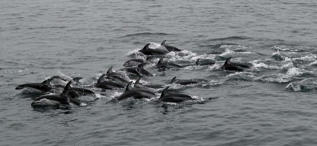 A large pod(s) of Pacific White-Sided Dolphins spent >30 minutes frolicking adjacent to the R/V Revelle, ~60-70 km west of Newport, Oregon. Credit: S. Denny, University of Washington, V17.