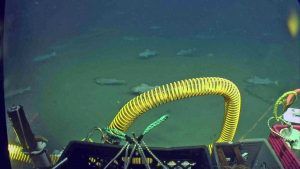 A swarm of black cod circle the vehicle during recovery and installation of a junction box at 600 m water depth offshore of Newport. Credit: UW/OOI-NSF/WHOI; J2-986; V17.