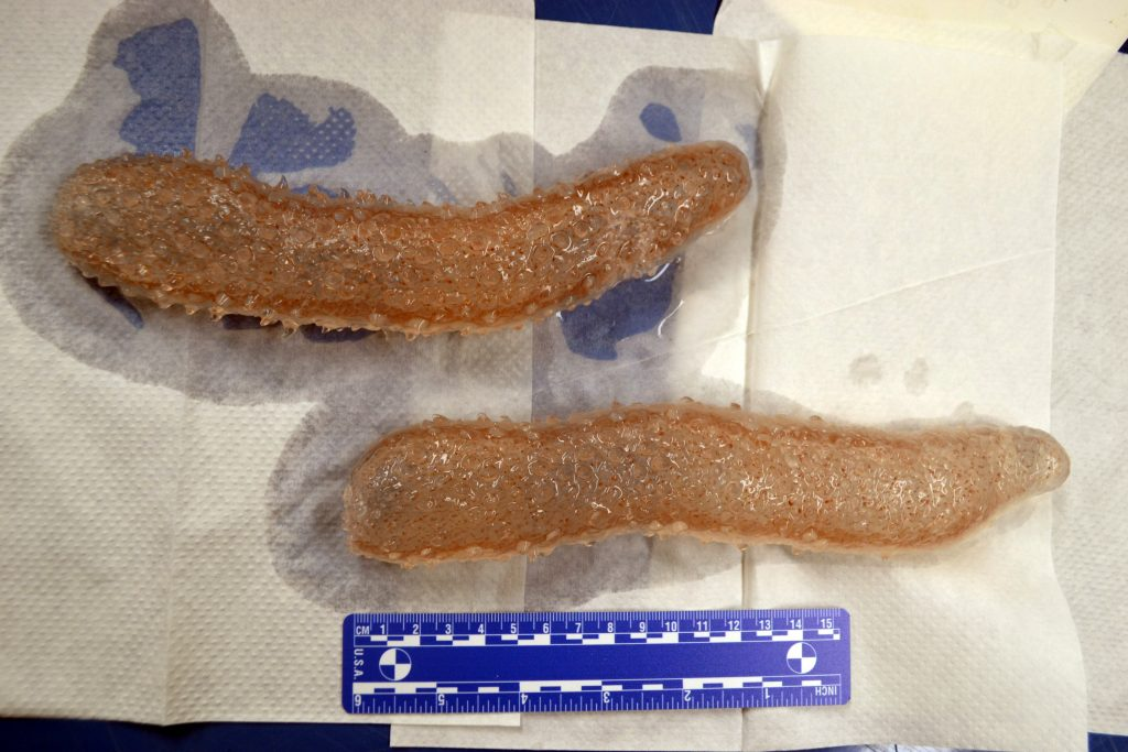 A couple samples of pyrosomes collected in shallow surface waters at the base of Axial Seamount. Credit: M. Elend, University of Washington, V17.
