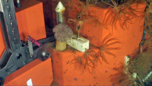 Life thrives on the Shallow Profiler Mooring platforms at 200 m beneath the oceans' surface. This 12 ft across mooring platform is coated in dense communities of very large anenomes, small pink sea urchins, feathery brown crinoids , and small crabs and shrimp...the closer you look the more you see. Credit: UW/NSF-OOI/Jason.