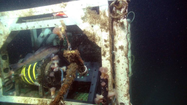 The housing for the zooplankton instrument forms a good habitat for sea anemones and fish at the Oregon Shelf Site at 80 m water depth. Credit: UW/NSF-OOI/WHOI; V16.