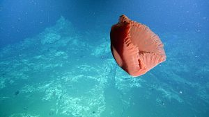 A big red jellyfish at Southern Hydrate Ridge swims past the ROV ROPOS near the carbonate pinnacle site during Dive R1851. Credit: NSF-OOI/UW/ISS, V15.