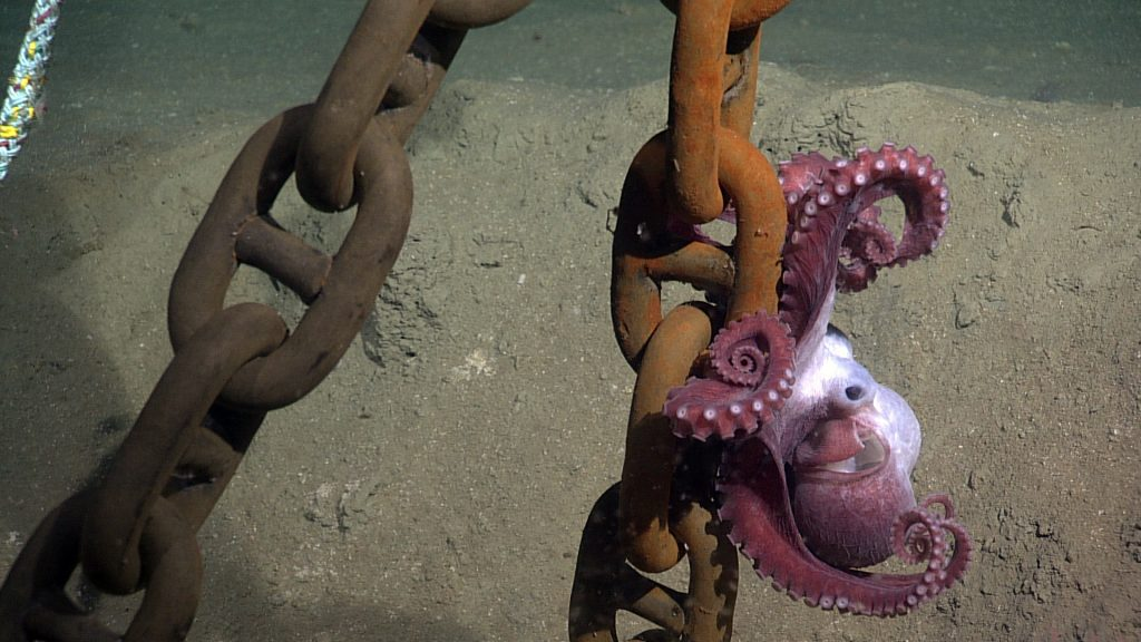 An octopus clings to a mooring chain at ~9500 ft water depth off at the base of the Cascadia Marging off of Newport, Oregon. NSF-OOI/UW/ISS, V15.