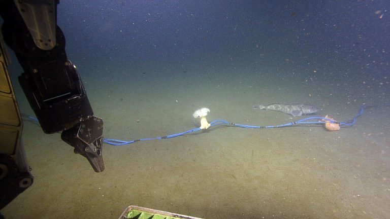 A lingcod and two anemones attached to the Oregon Shelf hydrophone cable.    Photo Credit: NSF/UW/CSSF, Dive R1801, V14