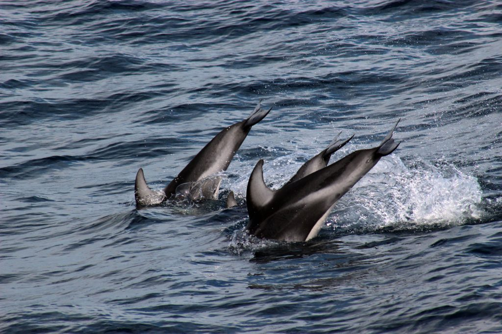 """Porpoises seem to enjoy the company of the R/V Thompson, often coming along side to """"play"""" in the waves. Photo Credit. Kevin Simans, University of Washington; V14"""