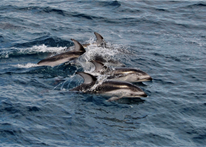 A small pod of porpoises grace the R/V Thompson ~80 km west of Newport Oregon. Photo Credit: Billy Medwedeff