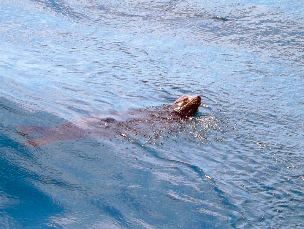 A sealion swims alongside the R/V Thompson during VISIONS'14 at the Oregon Offshore Site. Photo Credit: VIctoria Selesnick, V14.