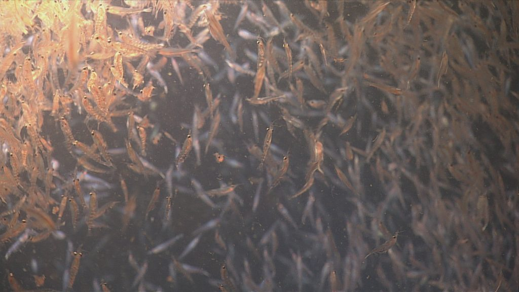 Euphausiids (small shrimplike crustaceans) seen swarming at the Endurance Oregon Shelf site (80 meters)  Photo Credit: NSF-OOI/UW/CSSF, Dive R1756, V14
