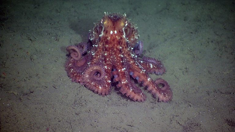 A giant Pacific octopus encountered during a site survey between the Endurance Oregon Offshore 2-legged mooring EOM leg anchor and the low-voltage node LV01C.  Photo Credit: NSF-OOI/UW/CSSF, Dive R1752, V14