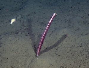 A sea pen encountered during a site survey between the Endurance Oregon Offshore 2-legged mooring EOM leg anchor and the low-voltage node LV01C.  Photo Credit: NSF-OOI/UW/CSSF, Dive R1752, V14