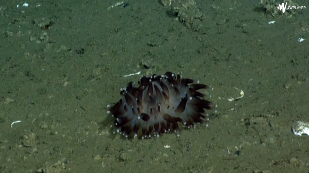 Burrowing anemone imaged during ROPOS dive R1750. Photo credit: NSF-OOI/UW/CSSF; Dive R1750; V14.