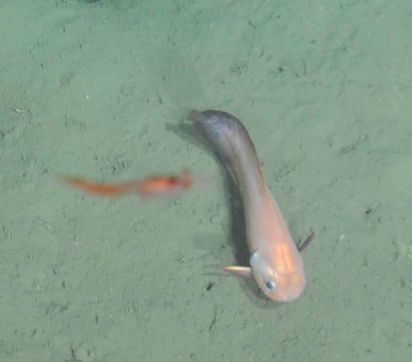 A closeup of a Blacktail Snailfish (Careproctus melanurus)encountered during a cable lay survey at Endurance Offshore, 600m depth  Photo Credit: NSF-OOI/UW/CSSF, Dive 1743, VISIONS14