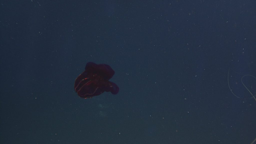 A purple ctenophore seen near the bottom (2608 meters) at Axial Base site  Photo Credit: NSF-OOI/UW/CSSF, Dive 1739, V14