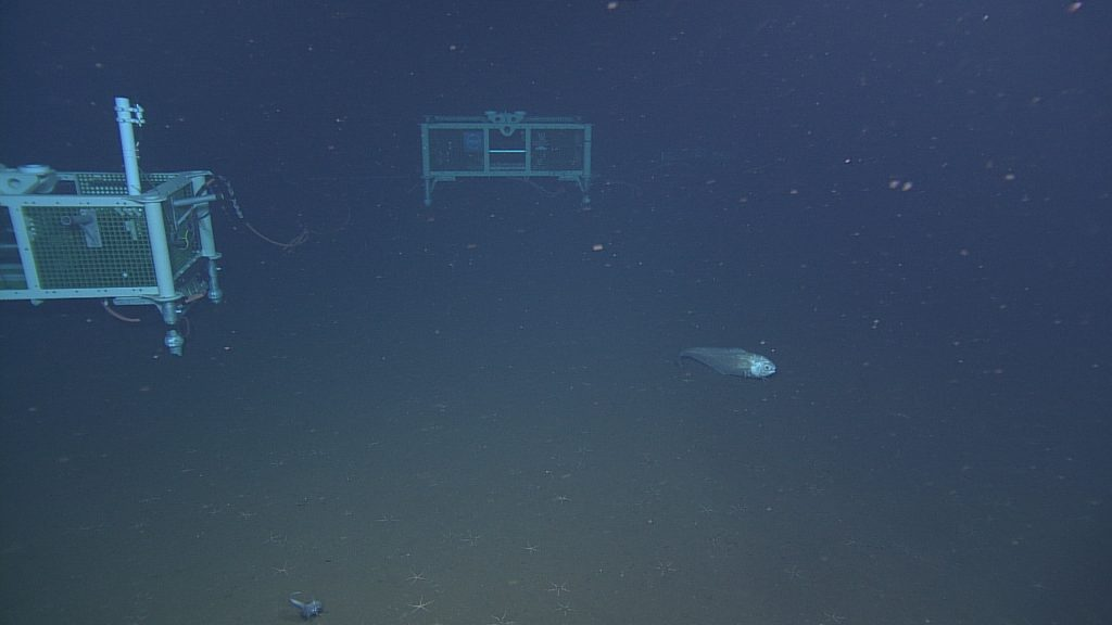 A large rattail swims beside LJ03A and LV03A at the Axial Base site (2600 meters deep).  Photo Credit: NSF-OOI/UW/CSSF, Dive 1738, V14