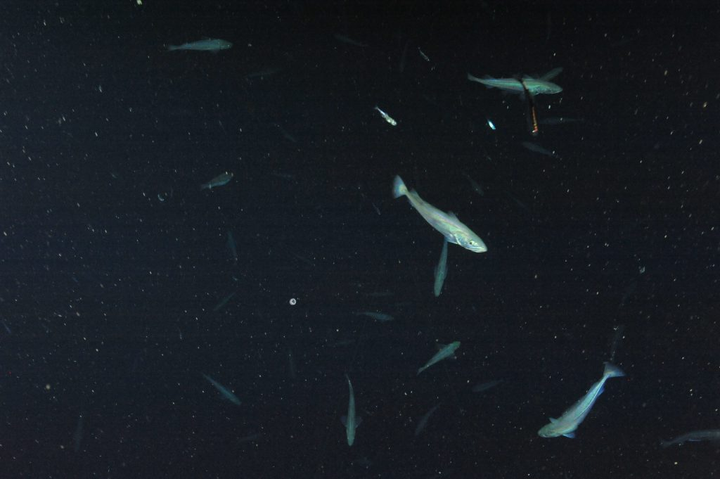 This school of fish extended much further down into the water column at the Slope Base site than previously encountered schools. This image was captured at 539m water depth.  Photo Credit: NSF-OOI/UW/CSSF; Dive 1735; V14.