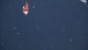 An unidentified squid encountered during descent on dive #1735 at Slope Base.  Photo Credit: NSF-OOI/UW/CSSF; Dive 1735; V14.