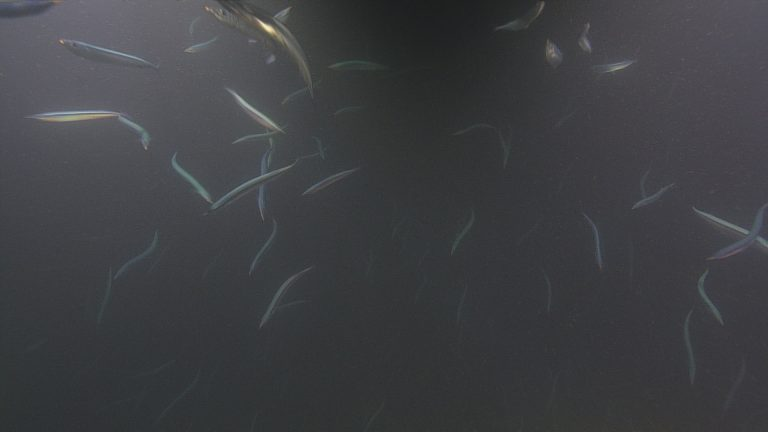 A large school of fish near the surface at the Slope Base site. They may be Pacific Sand Lance.  Photo Credit: NSF-OOI/UW/CSSF; Dive R1733; V14
