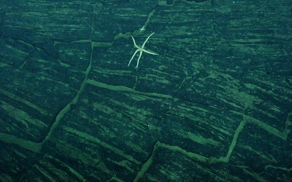 Seastar (Unknown 1) on a sheet flow type of old lava at Axial Seamount. Photo credit: NSF-OOI/UW/CSSF; Dive R1724; V14