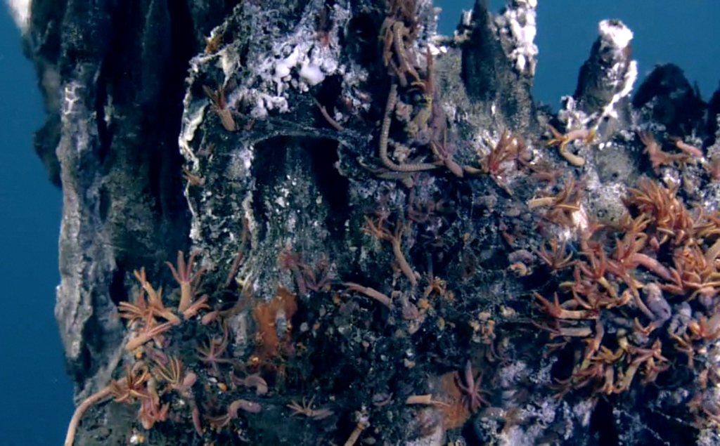 Palm Worms inhabit the toxic waters of El Guapo hydrothermal vent on Axial Seamount. Photo credit: NSF-OOI/UW/CSSF V11