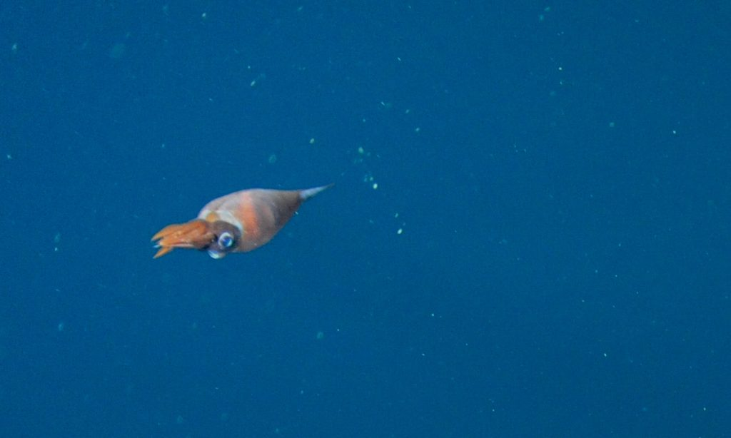 A Cockatoo Squid swam by the camera. Photo credit: NSF-OOI/UW/CSSF; Dive R1712; V14
