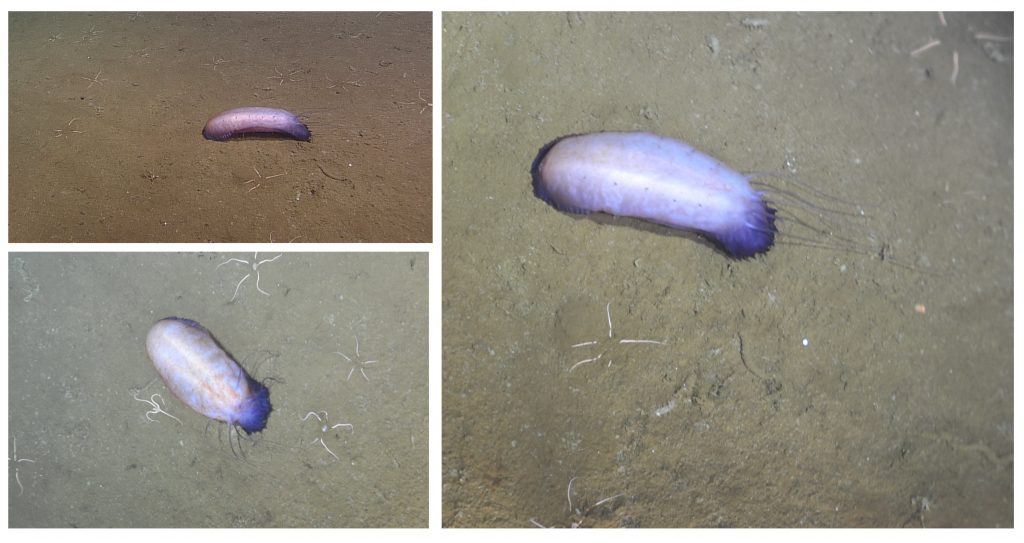 This large purple sea cucumber (Holothurian) was seen at the base of Axial Seamount, foraging through the sediments. This one is likely Paelopadites confundens. Photo credit: NSF-OOI/UW/CSSF; V14.