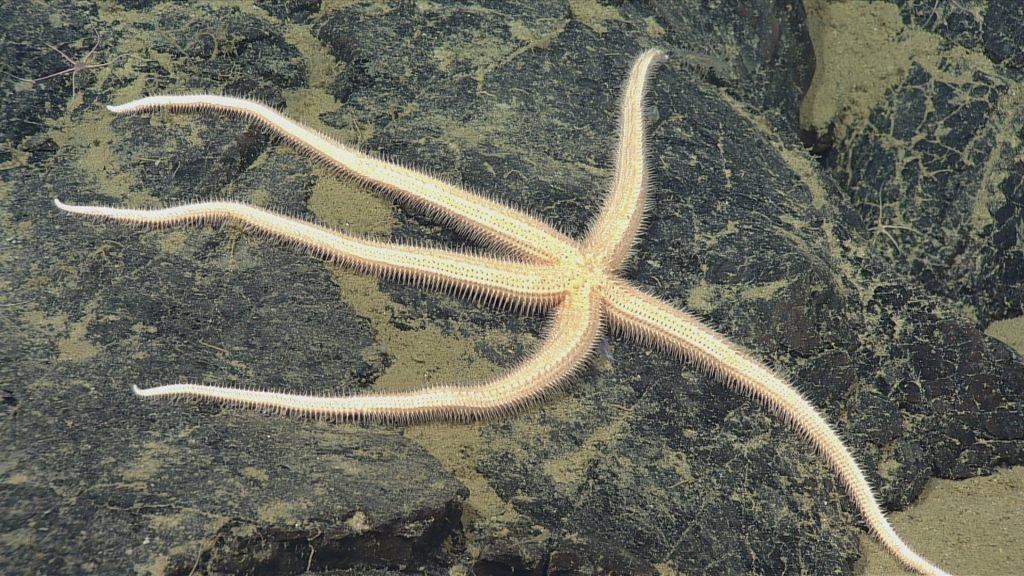 Seastar 1 - unknown species. Photo credit: NSF-OOI/UW/CSSF; Dive R1721; V14.