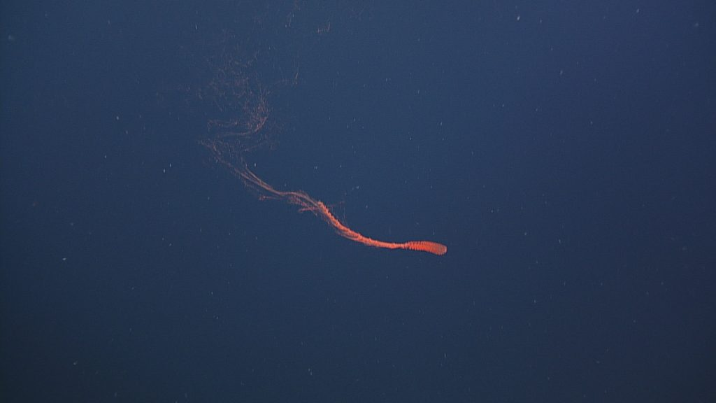 This red siphonophore, likely of the genus Marrus, is a colonial animal that generally lives in the mesopelagic zone of the ocean. Photo credit: NSF-OOI/UW/CSSF; Dive R1718; V14.