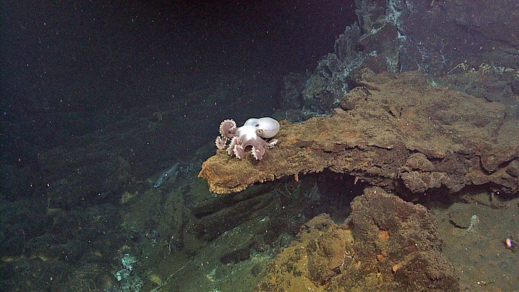 A beautiful octopus sits atop a ledge at the base of the hydrothermal vent called Escargot in the International District hydrothermal vent field on Axial Seamount. Photo credit: NSF-OOI/UW/CSSF; Dive R1719; V14.