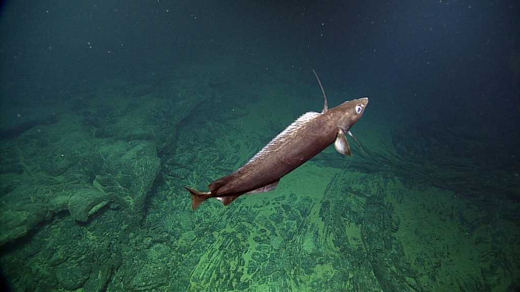 A Pacific Flatnose swims above a sheet flow (lava) on the summit of Axial Seamount. NSF-OOI/UW/CSSF; Dive R1712; V14