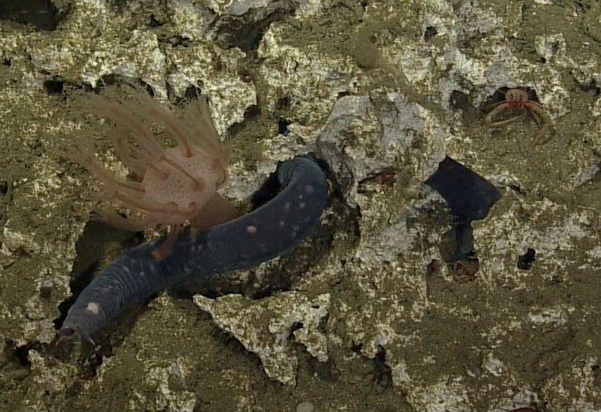 A purple-hued hagfish weaves its way through the rugged limestone rock at the Pinnacle at South Hydrate on the continental margin edge. A pink octocoral and orange squat lobster complete the trio. (VISIONS '13 Dive R-1606) Photo credit: OOI-NSF/UW/CSSF