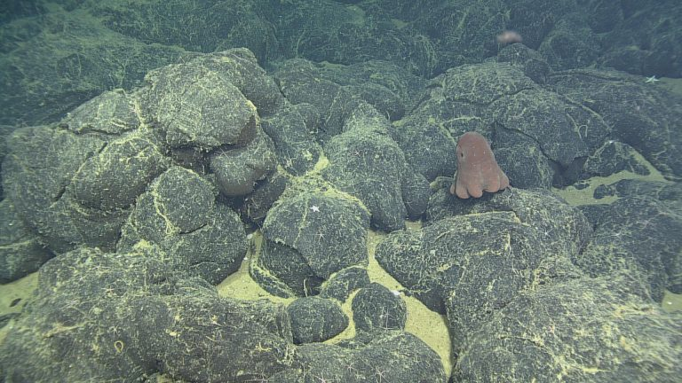 "This octopus, nicknamed the ""Dumbo Octopus,"" was seen on these pillow basalts at the summit of Axial's eastern caldera, during Dive ROPOS dive R1608.  	Photo credit: OOI-NSF/UW/CSSF"