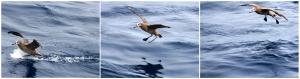 An albatross comes in for a landing near R/V Thomas G. Thompson. (photos by Allison Fundis, University of Washington, V13)
