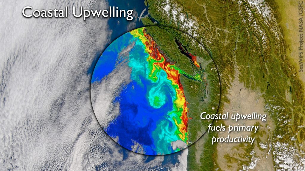 The coastal oceans and associated ecosystems off of the Pacific Northwest are strongly impacted by wind-driven upwelling in the spring and summer of deep, nutrient-rich water. Satellite images highlight blooms of chlorophyll associated with these events that typically last 2-20 days.