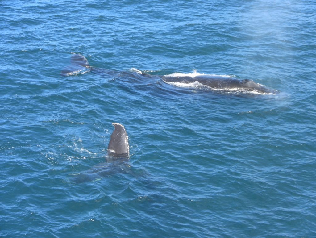 Two humpbacks visited during the node installation cruise.  --Photo by Cecile Durand