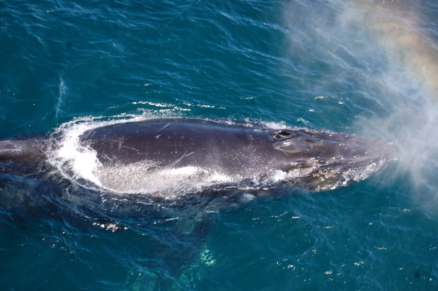 Two humpback whales paid a visit to the TE SubCom Dependable during the first leg of the Primary Node Installation cruise. Here one of the two visitors surfaces and exhales.  --Photo by Patti Haase