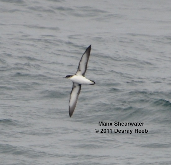 Manx shearwater seen from the TE SubCom Dependable.  --Photo by Desray Reeb