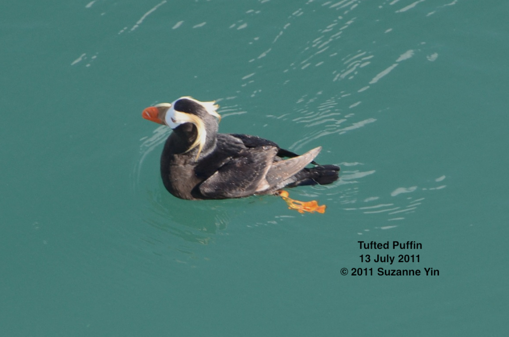 Tufted puffin seen from the TE SubCom Dependable.  --Photo by Suzanne Yin