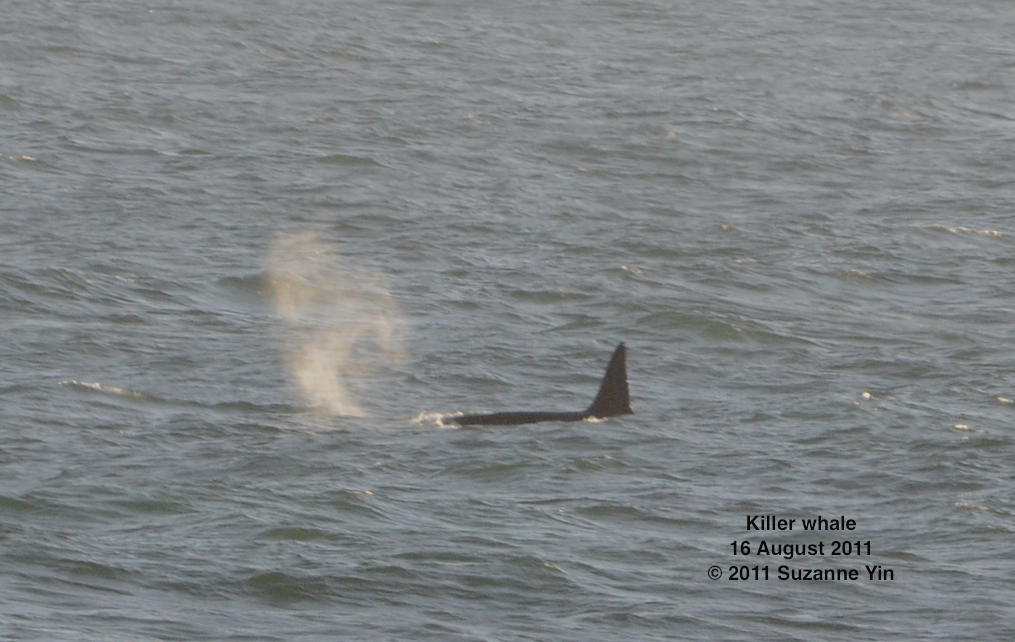 Killer whale seen from the TE SubCom Dependable.  --Photo by Suzanne Yin
