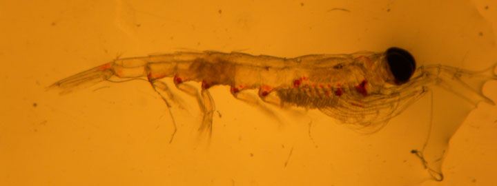 Zooplankton collected from a plankton net tow and imaged under Kendra Daly's microscope. (photo by Kendra Daly)