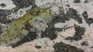 Beggiatoa matting (white) at Southern Hydrate Ridge with small snails. Photo credit: NSF-OOI/UW/CSSF