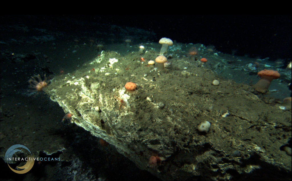 A beautiful colony of soft corals grow atop carbonate blocks at the Pinnacle on Southern Hydrate Ridge.